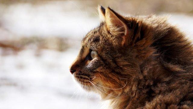 Сибирская кошка в профиль