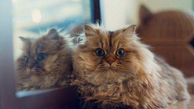 Сибирская котейка уселась возле зеркала
