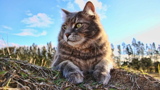 Сибирский котейка отдыхает на природе