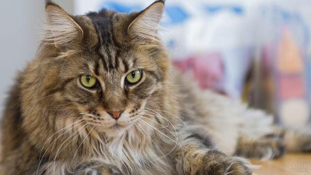 Сибирский котик смотрит на тебя