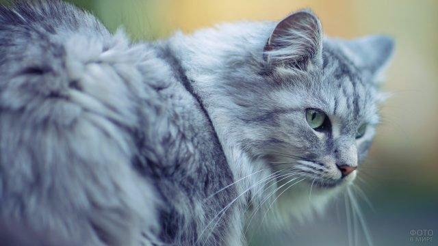 Строгий сибирский кот