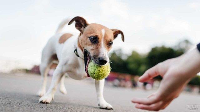 Джек рассел играет со своим хозяином в мячик