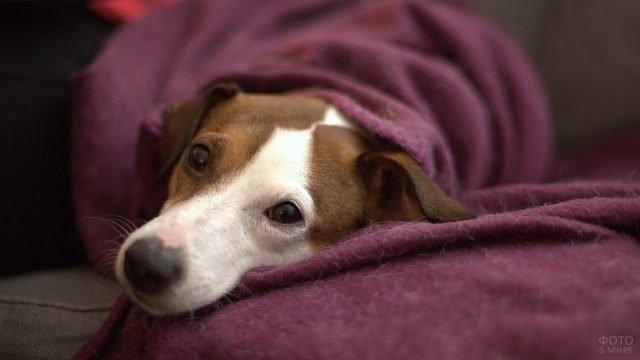Собака лежит укутанная в одеяло