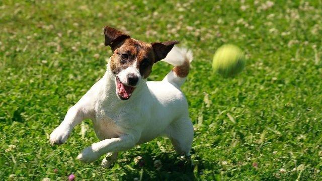 Собака мчится за мячиком