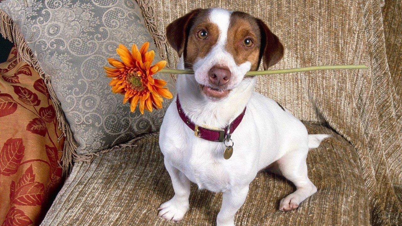 Собака с цветком в зубах сидит на диване