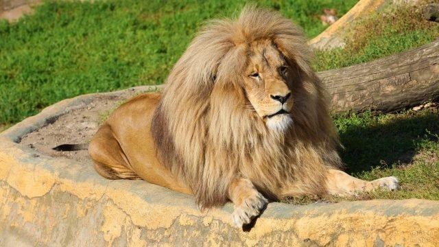 Благородный красавец лев лежит возле упавшего дерева