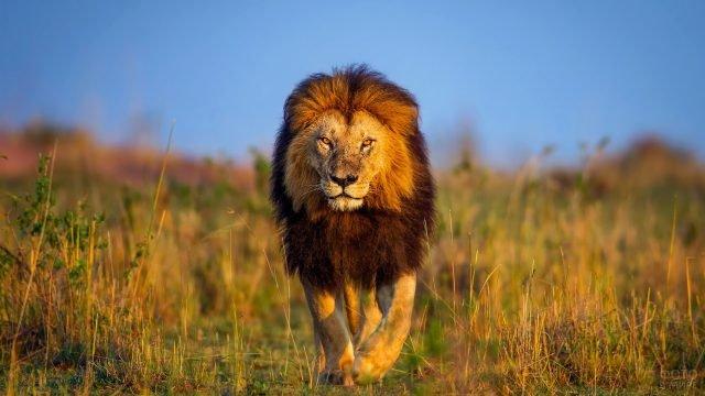 Бродяга лев гуляет по саванне