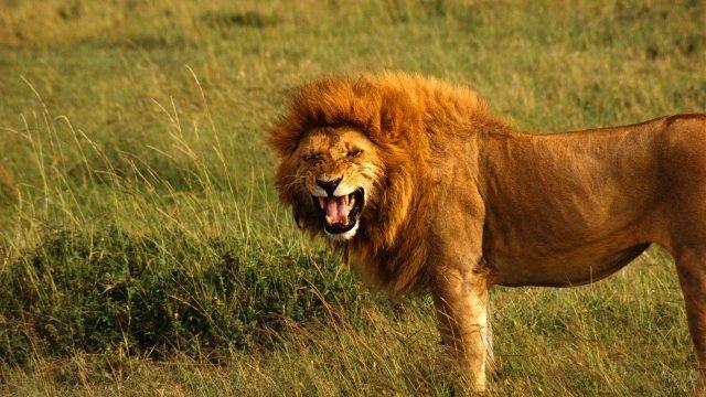 Грозный лев рычит