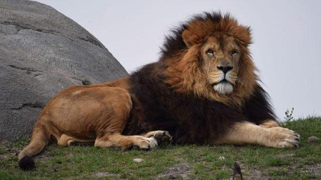 Король лев лежит на траве возле камня
