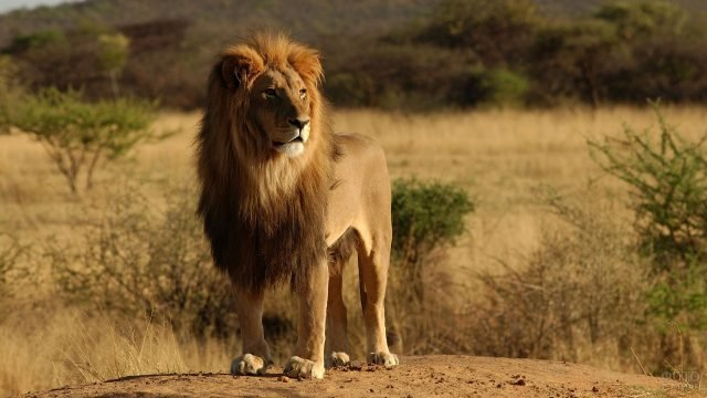 Красавец лев в саванне