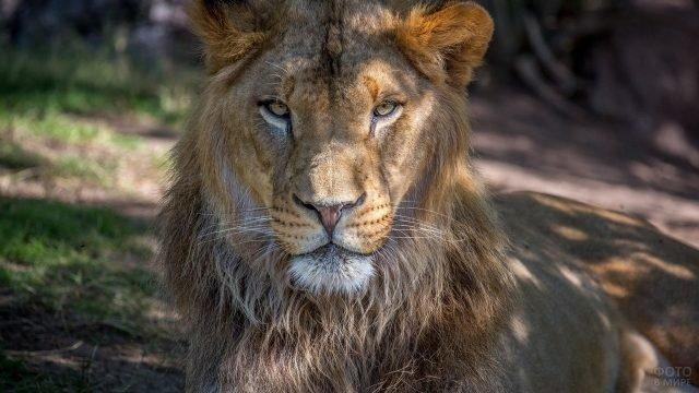 Красивая морда льва крупным планом