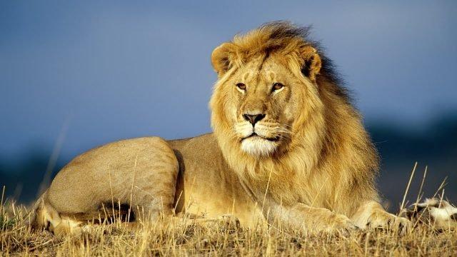 Лев лежит на высохшей траве