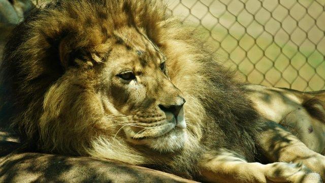 Лев лежит в клетке и грустит