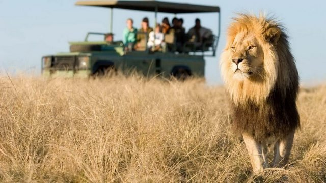 Лев на фоне автомобиля с туристами