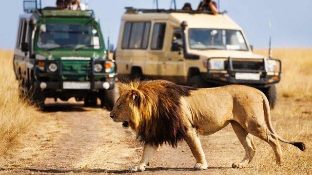 Лев переходит дорогу туристам на автомобилях
