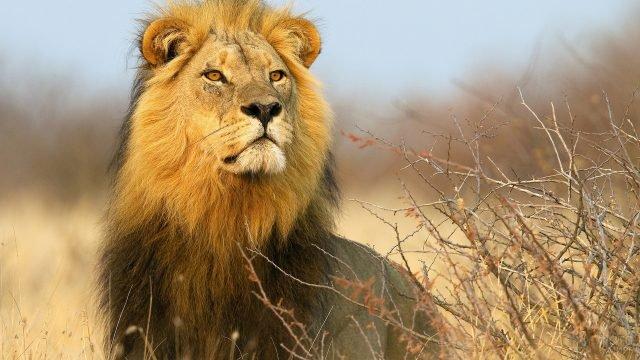 Лев смотрит вдаль в ожидании добычи