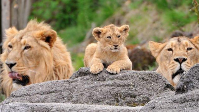 Львиное семейство охраняет своё чадо
