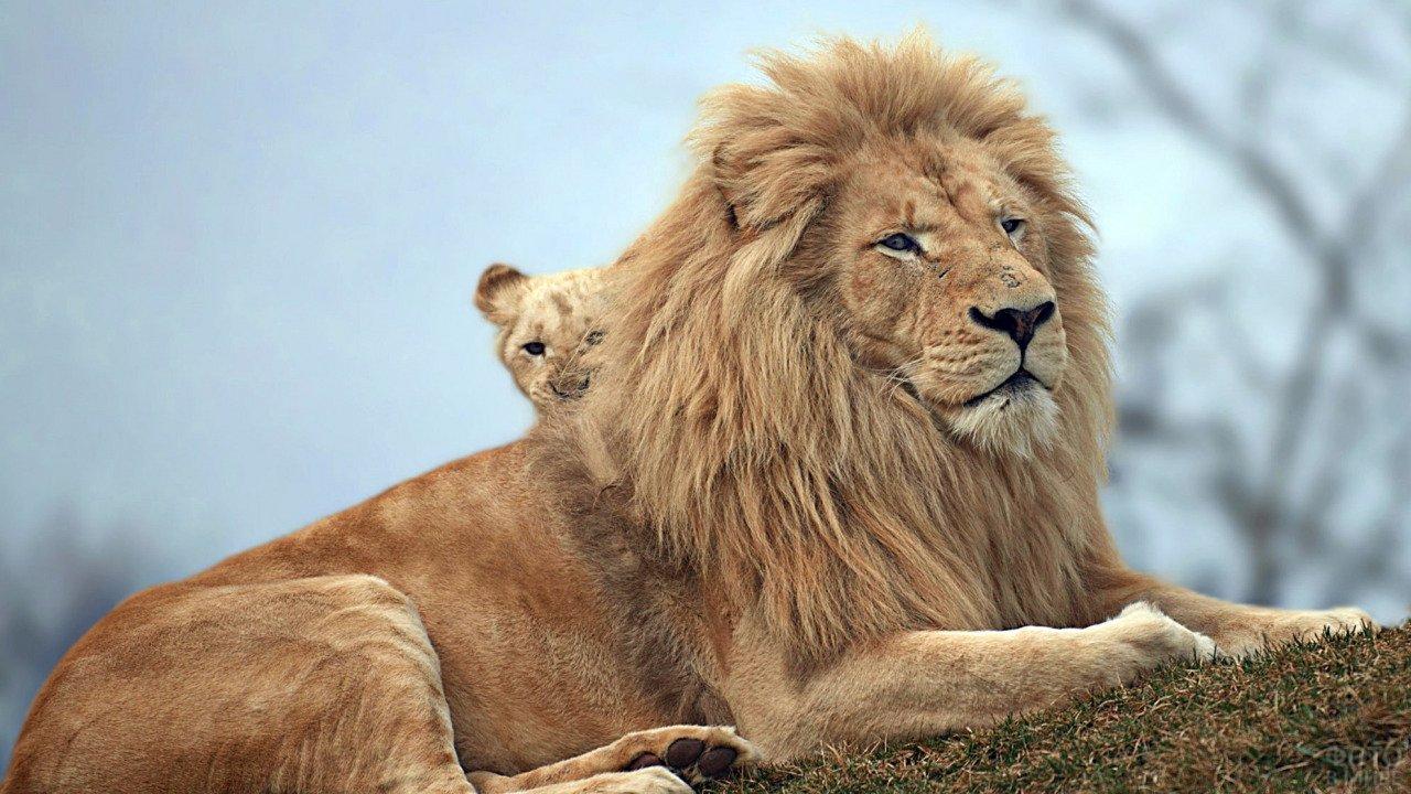 Маленький львёночек выглядывает из-за папиной спины
