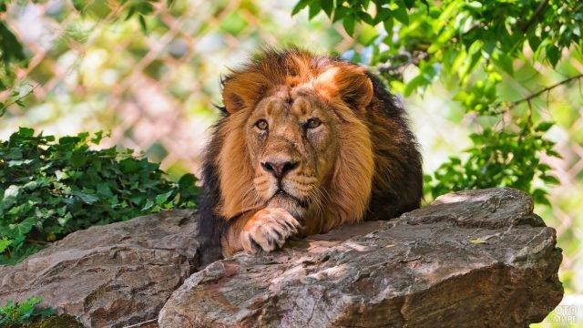 Мечтающий лев лежит на камнях