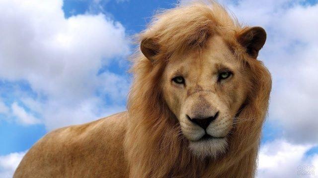 Молодой лев на фоне неба