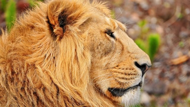 Мордаха льва с задумчивым видом