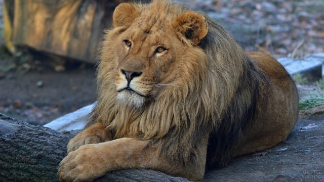 Мудрый лев в красивой позе