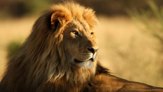 Мудрый рыжий лев на светлом фоне
