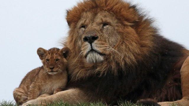 Папа лев со своим детёнышем