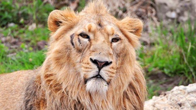 Потрёпанный лев со шрамами на морде