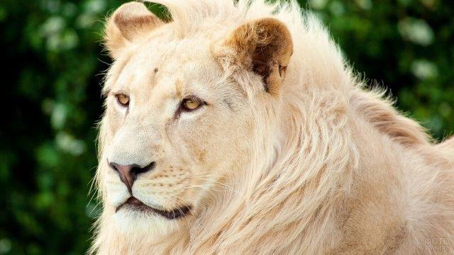 Профиль льва светлой расцветки