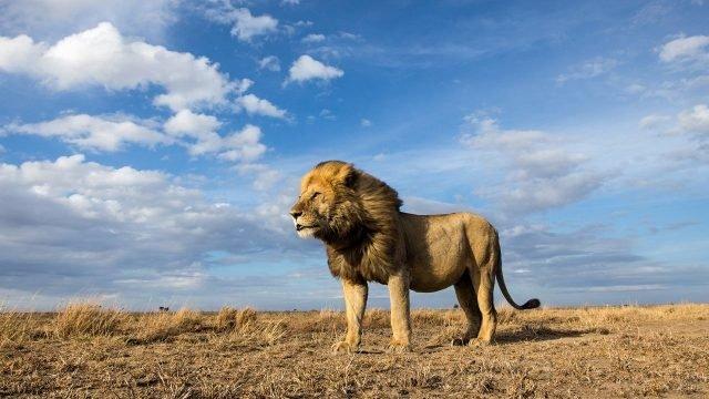 Шикарный лев на фоне неба