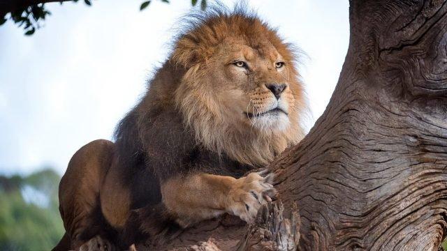 Сильный лев лезет по дереву