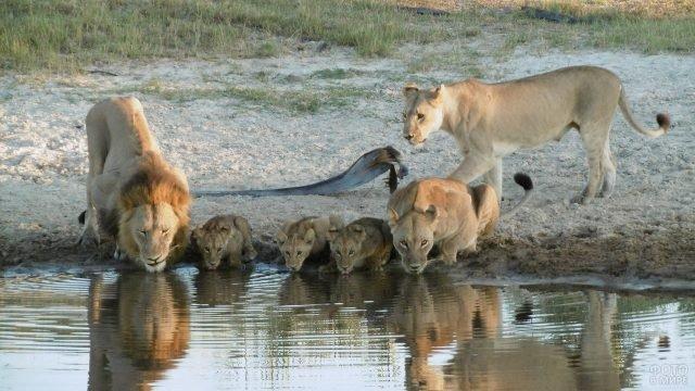 Семейство львов на водопое