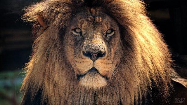 Старый мудрым потрёпанный лев