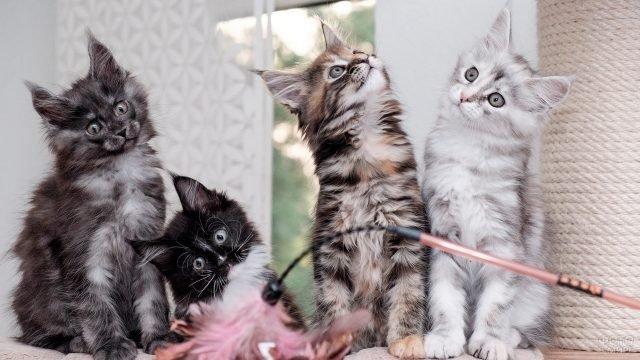 Четыре котёнка породы мейн-кун
