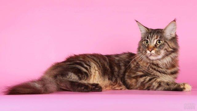 Добротный мейн-кун на розовом фоне