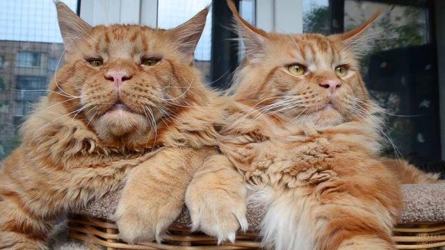 Два богатых мейкуна в плетёной корзине