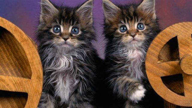 Два малыша мейн-кунчика позируют для фотосессии