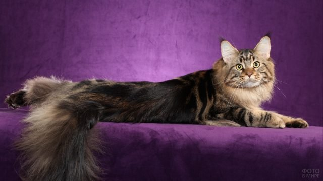 Эффектный мейн-кун позирует на фиолетовом диване