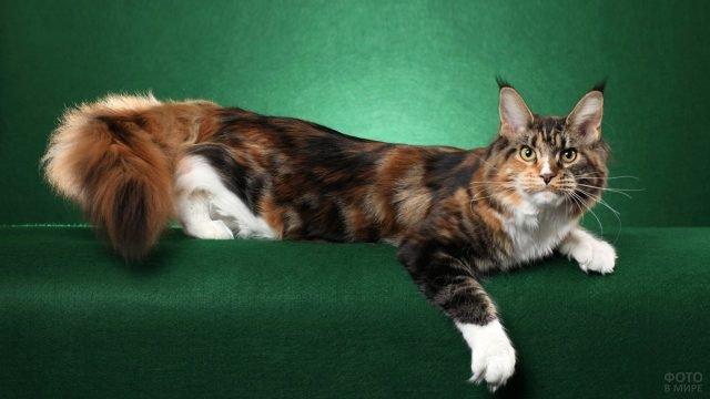 Кошка с кисточками на ушах позирует на зелёном фоне