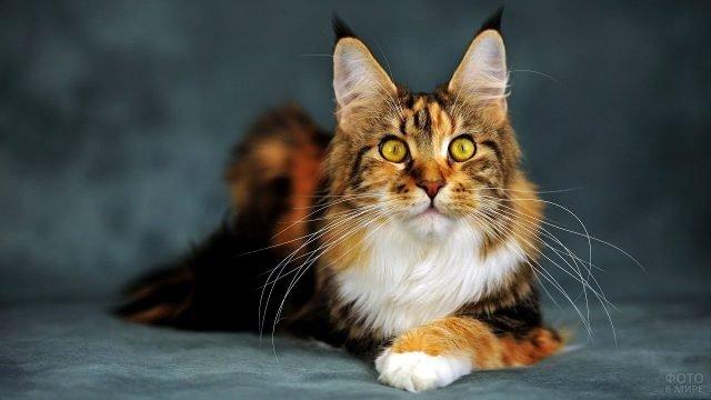 Котик мейн-кун крупным планом