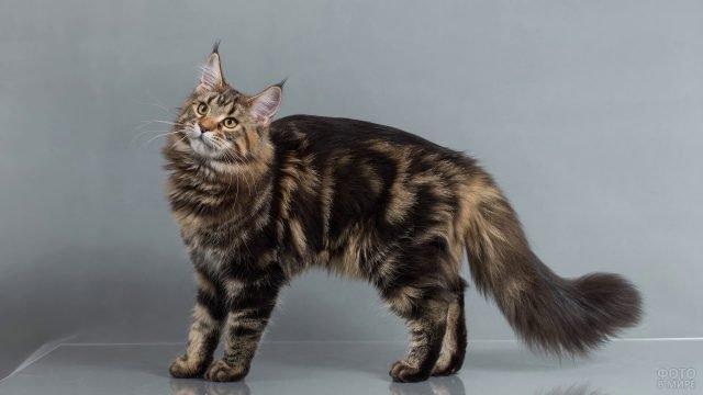 Котик породы мейн-кун позирует на сером фоне