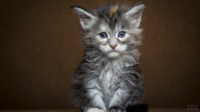 Котёночек породы мейн-кун