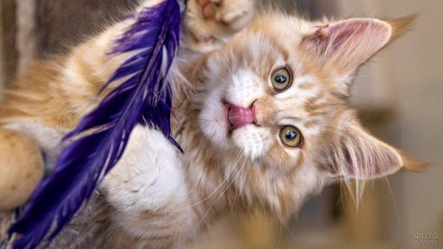 Котнок мейкун играет с пёрышком