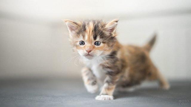 Маленький котёнок породы мейн-кун