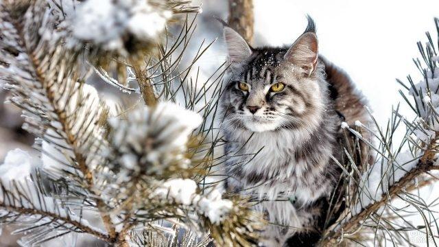 Мейн-кун в зимнем лесу
