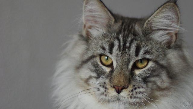 Мордаха кошки породы мейн-кун