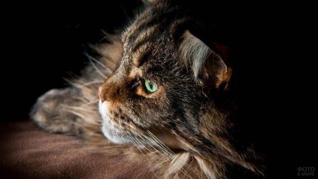 Профиль мейн-куна с зелёными глазами