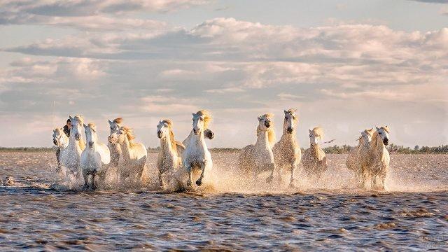 Дикие лошади в заповеднике Камарг в Провансе