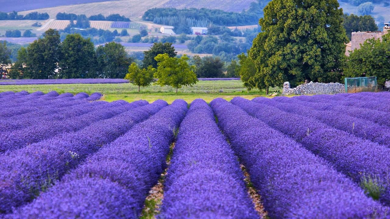 Лавандовые поля во французской провинции